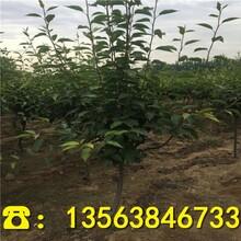 华酥梨树苗什么地方卖、新品种华酥梨树苗附近哪里有图片