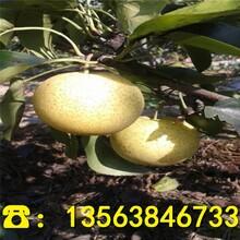 早红考密斯梨树苗供应价格、早红考密斯梨树苗哪里便宜图片