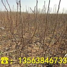 香梨树苗供应价格、优质香梨树苗前景行情图片