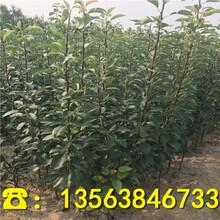 黑梨树苗批发出售、优质黑梨树苗出售价钱图片