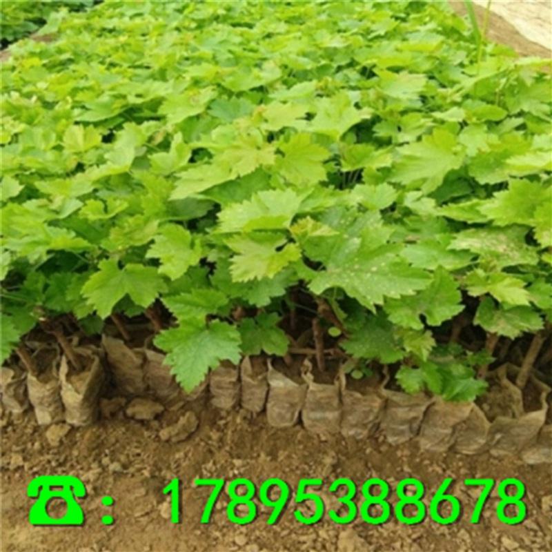 葡萄苗多少钱、新品种葡萄苗一棵多少钱