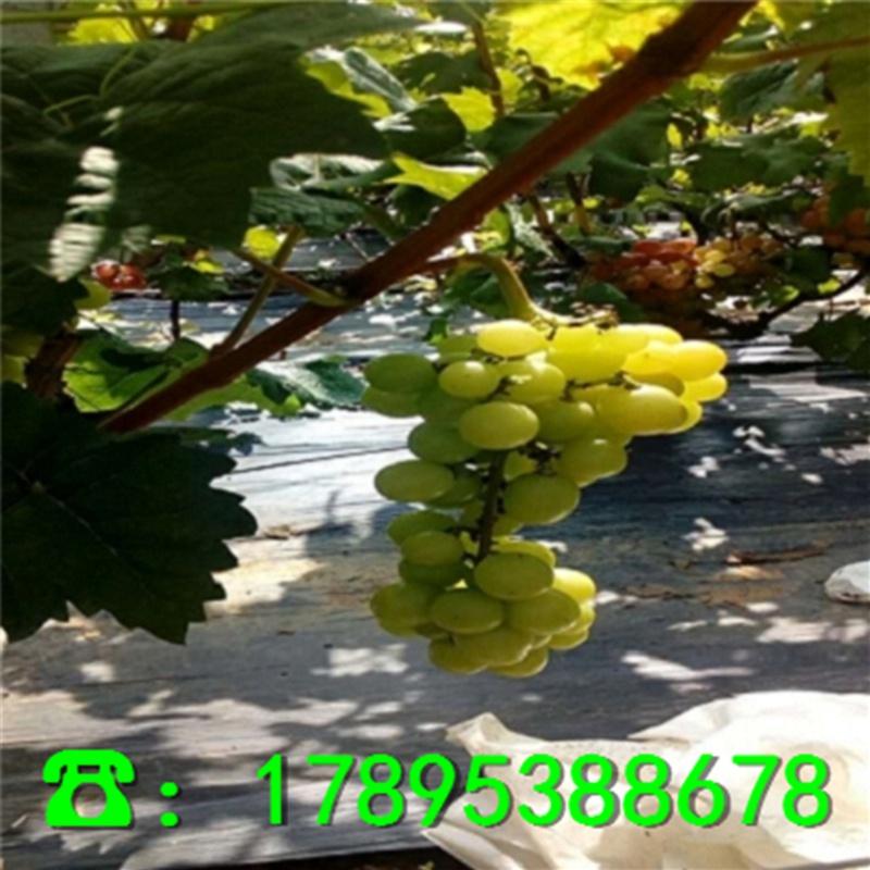阳光玫瑰葡萄苗几钱、新品种阳光玫瑰葡萄苗销售价格