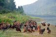 广东天农优品清远鸡清远鸡养殖清远鸡的故事