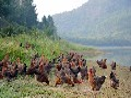 广东天农优品清远鸡土鸡蛋和洋鸡蛋清远鸡蛋土鸡苗图片