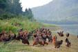 天农优品正宗清远鸡清远鸡做法养农家土鸡