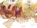 广东天农优品清远鸡土鸡养殖场清远鸡蛋土鸡苗图片