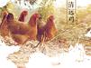 广东天农优品清远鸡清远鸡养农家土鸡养殖土鸡