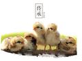 广东天农优品清远鸡识别土鸡蛋清远鸡蛋土鸡苗图片