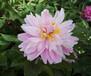 优质观赏芍药苗价格观赏芍药苗种植基地