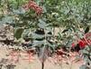 花椒小苗種植銷售