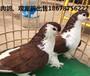 球胸鸽哪里有养殖的/球胸鸽价格