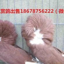 毛领鸽哪里有卖的羊眼鸽哪里有卖的