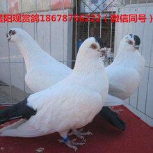 金鱼鸽哪里有卖的喜鹊鸽哪里有卖的