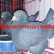 银羽王鸽哪里有卖的落地王鸽哪里有卖的