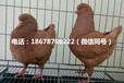 哪里有出售宠物鸽的山东观赏鸽养殖场靠谱吗
