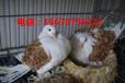 湖北肉鸽养殖场在哪湖北有养观赏鸽的吗