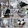 山东专业元宝鸽养殖图片