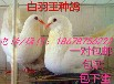 观赏鸽北京点子和扬州点子的区别