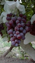 红提葡萄代办