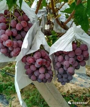 红提葡萄大量上市