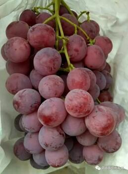 今日陜西渭南葡萄市場價格