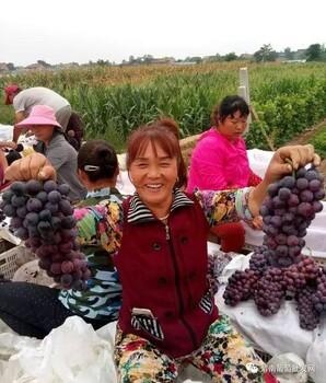 陕西渭南夏黑葡萄收购价格