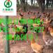 四川西昌美姑县土鸡苗饲养管理,土鸡苗养殖技术