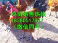 四川雅安汉源县淮南王鸡苗批发市场,淮南王鸡苗价格行情图片