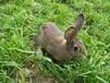 杂交野兔养殖基地