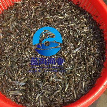 批发台湾泥鳅鱼苗