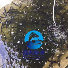 廣東批發零售鴨嘴魚苗美國匙吻鱘魚苗圖片