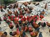 榆林市米脂县鸡苗饲养管理