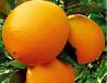 脐橙之乡-成都金堂三溪镇橙子代购代办代销