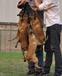 出售杜高犬价格小杜高犬多少钱一只