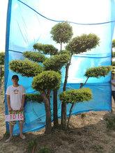 园林绿化的宠儿---金叶榆造型树热销中价格/图片/质量/成活率