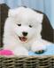 自家狗场专业繁殖的纯种萨摩耶,武昌犬舍出售