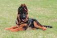 武汉销售超纯种德国牧羊犬签合同保超健康先体检