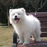 成都澳版熊版萨摩幼犬纯种公母齐全可以做健康体检