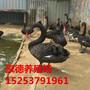 哪里有黑天鹅养殖场哪里有黑天鹅黑天鹅来自哪里图片
