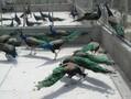 孔雀价格黑天鹅出售出租观赏种鸳鸯大型珍禽养殖图片