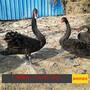 羽毛变黑的黑天鹅什么价格黑天鹅几月份下蛋养殖黑天鹅需要什么条件图片