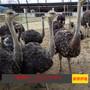 出售出租优质大鸵鸟商品非洲鸵鸟一般能长多大哪里有专业养殖鸵鸟的山东豪德珍禽养殖图片