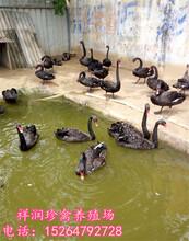 黑天鹅苗多少钱一只,一年的黑天鹅什么价格,黑天鹅都吃什么。图片