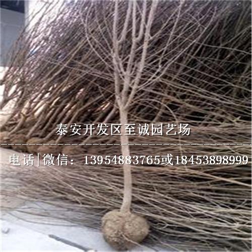 石榴苗压条 萌芽前将母树根际较大的萌蘖从基部环割造伤促发生根,然后