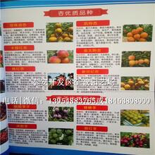 杏苗批发价格、红丰杏苗种植技术图片