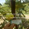 玛斯义陶芬无花果苗出售价格、青皮无花果树苗多少钱一棵