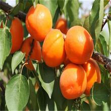 早红蜜杏树苗批发价格、红丰杏苗厂家供应图片