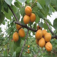 红梅杏苗批发价格、红丰杏苗供货商图片