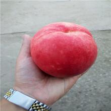 桃树实生苗批发价格、桃树实生苗零售价格图片