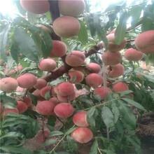 黑油桃树苗哪里有、黑油桃树苗种植技术图片